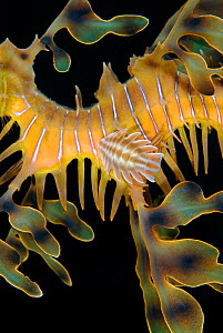 A parasitic isopod attached to a Leafy Seadragon (Phycodurus eques). This species of isopod has an ornately shaped carapace to disguise it on the seadragon. Wool Bay Jetty, Edithburgh, Yorke Peninsula... - Alex Mustard