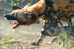 African Wild Dog (Lycaon pictus) adult with eight-week old pup. Endangered Species. Northern Botswana, Africa  -  Suzi Eszterhas