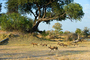 Pack of African Wild Dog (Lycaon pictus). Endangered Species. Northern Botswana, Africa, August. - Suzi Eszterhas