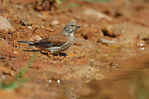 Linnet (Carduelis / Acanthis cannabina) female drinking at a watering place at the edge of a pool. Navarra, Spain, July - Jose Luis GOMEZ de FRANCISCO