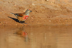 Linnet (Carduelis / Acanthis cannabina) male drinking at a watering place at the edge of a pool. Navarra, Spain, June - Jose Luis GOMEZ de FRANCISCO
