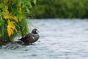 Harlequin duck (Histrionicus histrionicus) male standing in shallow water by a grassy bank. Iceland, July  -  Jose Luis GOMEZ de FRANCISCO