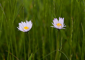 Common Daisies (Bellis perennis), closing sequence at sundown (2 of 3). UK, May.  -  Stephen Dalton