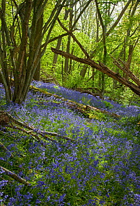 Sussex woodland with bluebells (Hyacinthoides non-scripta).  UK, May.  -  Stephen Dalton