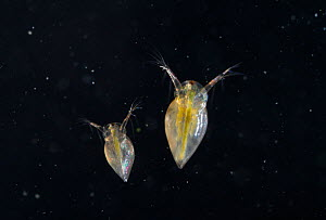 Two Water Fleas (Daphnia sp.), showing transparency of bodies and internal organs. UK, September. - Stephen Dalton