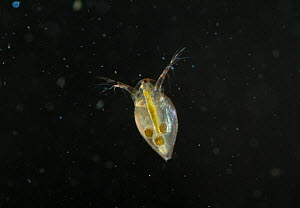 Water Flea (Daphnia sp.), showing transparency of body and internal organs. UK, September.  -  Stephen Dalton