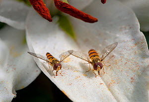 Two Marmalade hoverflies (Episyrphus balteatus) on a Lily petal (Liliaceae), feeding on pollen dropped from anthers. UK, August. - Stephen Dalton