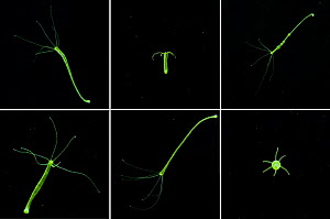 Sequence showing different views of Green Hydra (Hydra viridis), a simple animal related to jellyfish (Cnidaria). UK.  -  Stephen Dalton