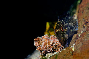 Shanny / Common blenny (Lipophys / Blennius pholis) sunbathing in a rockpool. Montrose, Scotland, August .  -  Fergus Gill
