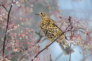 Mistle thrush (Turdus viscivorus) feeding on frozen berries in a rowan tree. Perthshire, Scotland, December - Fergus Gill