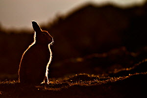 Mountain hare (Lepus timidus) silhouette at dusk in late summer. Scotland, October  -  Fergus Gill
