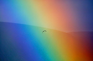 Osprey (Pandion haliaetus) flying through a rainbow. Aviemore, Scotland, July. - Fergus Gill