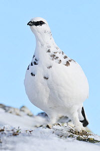 Rock ptarmigan (Lagopus mutus), cock bird in winter. Cairngorms National Park, Scotland, February - Fergus Gill