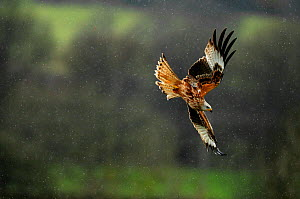 Red kite (Milvus milvus) flying in a rain shower. Dumfries and Galloway, Scotland, June - Fergus Gill