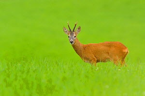 Roe deer (Capreolus capreolus) buck feeding in a field at dusk. Perthshire, Scotland, August .  -  Fergus Gill