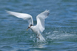 Sandwich tern (Sterna sandvicensis) adult catching a sandeel. Montrose, Scotland, August .  -  Fergus Gill