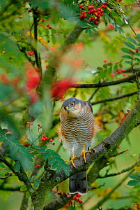 Sparrowhawk (Accipiter nisus) watching for  prey from a garden rowan tree. Perthshire, Scotland, September  -  Fergus Gill
