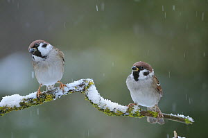 Tree sparrows (Passer montanus) perching during a snow shower. Perthshire, Scotland, December  -  Fergus Gill