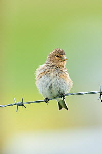 Twite (Carduelis / Acanthis flavirostris) resting on a barbed wire fence. Isle of Berneray, Outer Hebrides, Scotland, August  -  Fergus Gill