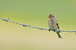 Twite (Carduelis / Acanthis flavirostris) resting on a barbed wire fence. Isle of Berneray, Outer Hebrides, Scotland. August  -  Fergus Gill
