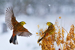 Yellowhammers (Emberiza citrinella) coming in to land of a sheaf of oats in winter. Perthshire, Scotland, February - Fergus Gill