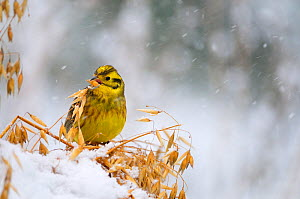 Yellowhammer (Emberiza citrinella) male feeding on oats in winter. Perthshire, Scotland, February - Fergus Gill