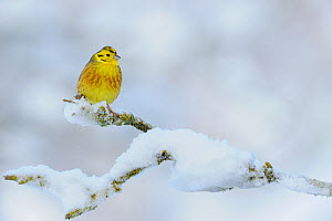 Yellowhammer (Emberiza citrinella) perching on a snow covered branch. Perthshire, Scotland, December  -  Fergus Gill