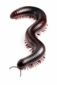 Tanzanian Giant Millipede {Archispirostreptus gigas} Captive, originating from Africa. - Alex Hyde