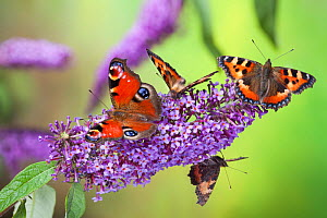Peacock butterfly (Inachis io) and Small tortoiseshell butterflies (Aglais urticae) feeding on Buddleia flowers (Buddleia davidii), Derbyshire, UK, September.  -  Alex Hyde