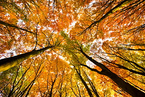 Looking up at Beech wood canopy (Fagus sylvatica) in autumn, Peak District National Park, Derbyshire, UK, November  -  Alex Hyde