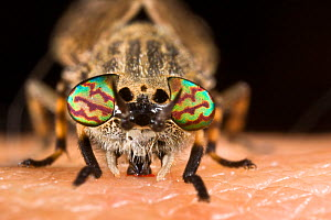 Cleg fly / Horsefly (Haematopota pluvialis) sucking blood from human.  -  Alex Hyde
