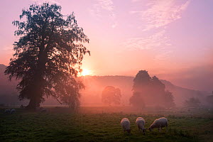 Sunrise over fields with sheep grazing near Cromford, Derbyshire Dales, UK, September 2010.  -  Alex Hyde