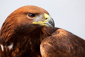 Golden eagle (Aquila chrysaetos) male. Captive, UK. - Alex Hyde