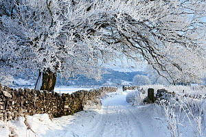 Tree coated in hoar frost along country lane near Eyam, Peak District National Park, Derbyshire, UK, December 2009.  -  Alex Hyde