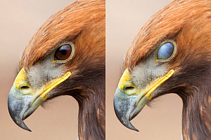 Golden eagle (Aquila chrysaetos) sequence showing protective nictitating membrane over eye. Captive bird, UK. - Alex Hyde
