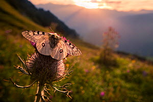 Apollo butterfly (Parnassius apollo) on thistle head in alpine meadow. Nordtirol, Austrian Alps. - Alex Hyde