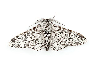 Peppered Moth (Biston betularia), typical form. - Alex Hyde