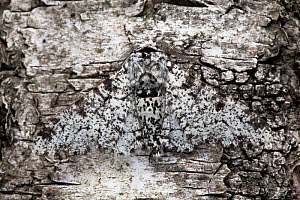 Peppered Moth (Biston betularia), typical form, camouflaged on birch tree bark. Derbyshire, UK, July. - Alex Hyde