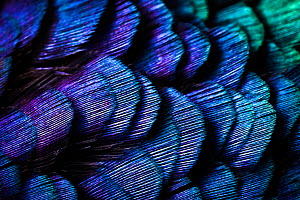 Close up of feathers of cock Pheasant (Phasianus colchicus). - Alex Hyde