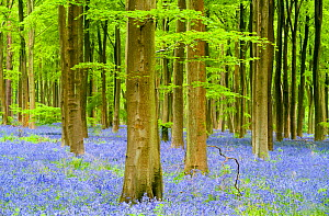 RF- Bluebell carpet (Hyacinthoides non-scripta) among beech trees (Fagus sylvatica). West Woods, near Marlborough, Wiltshire, UK. May. (This image may be licensed either as rights managed or royalty f...  -  Ross Hoddinott