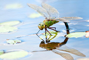 Female emperor dragonfly (Anax imperator) laying eggs in a pond. Cornwall, UK, July  -  Ross Hoddinott