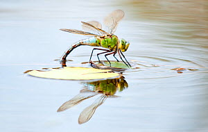 Female emperor dragonfly (Anax imperator) laying eggs in pond. Cornwall, UK, July  -  Ross Hoddinott