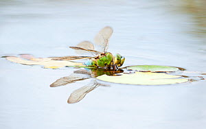 Female Emperor dragonfly (anax imperator) partly submerged while laying eggs in pond. Broxwater, Cornwall, UK, July  -  Ross Hoddinott