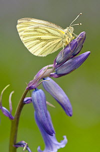Green-veined white butterfly (Artogeia / Pieris napi) with wings closed, resting on bluebell. Lanhydrock, Cornwall, UK, May - Ross Hoddinott