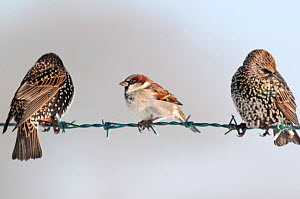 Male house sparrow (Passer domesticus) on barbed wire fence, next to starlings (Sturnus vulgaris). Nr Bradworthy, Devon, UK, December - Ross Hoddinott
