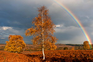 Rainbow and Silver birch tree (Betula pendula / verrucosa) at Mogshade Hill, New Forest, UK, November 2010 - Ross Hoddinott