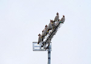 Group of Bohemian waxwings (Bombycilla garrulus) perched on an antenna. Part of flocks visiting gardens and industrial estates in North Wales. Nr Ruthin, Clwyd, UK, November  -  Mike Potts