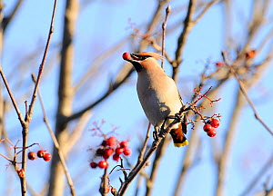 Bohemian waxwing (Bombycilla garrulus) feeding on Mountain ash (Sorbus aucuparia) berries. Part of flocks visiting gardens and industrial estates in North Wales. Nr Ruthin, Clwyd, UK, November  -  Mike Potts