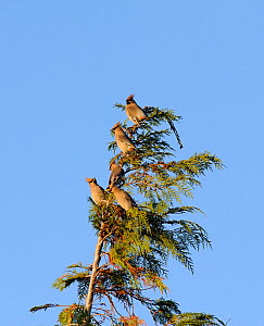 Bohemian waxwings (Bombycilla garrulus) in a tree. Part of flocks visiting gardens and industrial estates in North Wales. Nr Ruthin, Clwyd, UK, November  -  Mike Potts