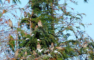 Group of Bohemian waxwings (Bombycilla garrulus) perching on tree branches. Part of flocks visiting gardens and industrial estates in North Wales. Nr Ruthin, Clwyd, UK, November  -  Mike Potts